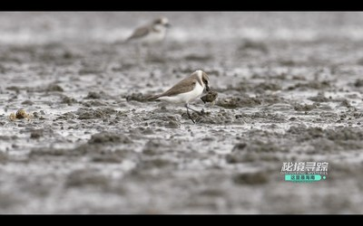 A Lesser Sand Plover catches a Soldier Crab on a mudflat in Danzhou Bay, Hainan Island, China. (Video screenshot)